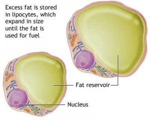 fat-cells-storage